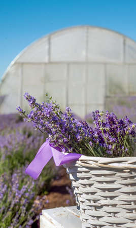 white basket with blooming lavender knitting bouquets on front, close up on a field with greenhouse background