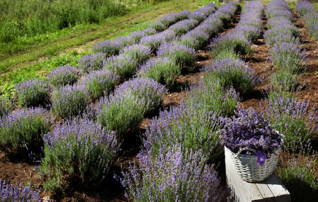 ows of blooming lavender, lavender field on top view