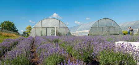 rows of blooming lavender field, greenhouse on background Stockfoto