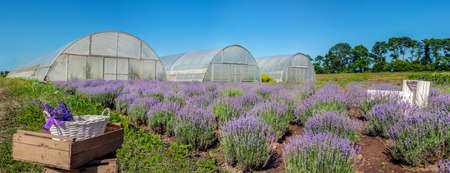 top view of rows of blooming lavender field panorama with boxes greenhouses