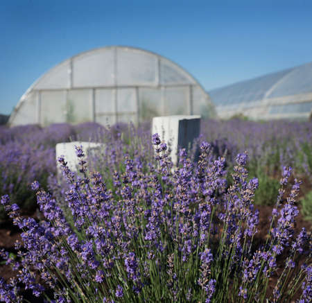 Close up view of blooming lavender with white box and greenhouses