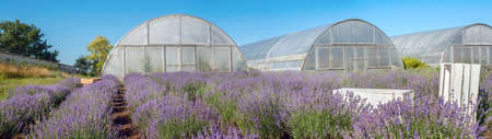 Big panoramic view of blooming lavender field with greenhouses Stockfoto