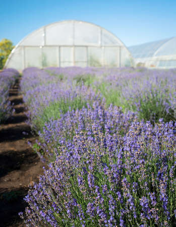view of blooming lavender field with greenhouses