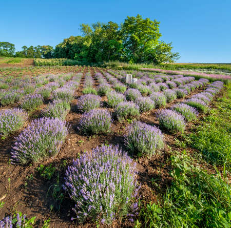 Rows of lavender bushes in a garden, above