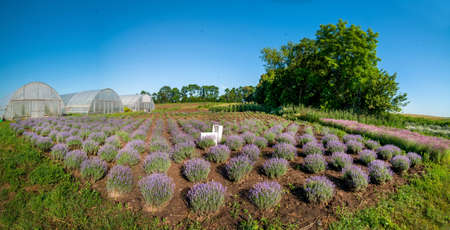 Rows of lavender bushes in a garden, top view, geometry Stockfoto