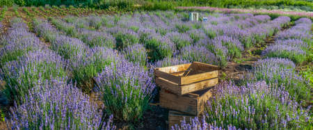 wooden boxes with blooming lavender closeup on a field background