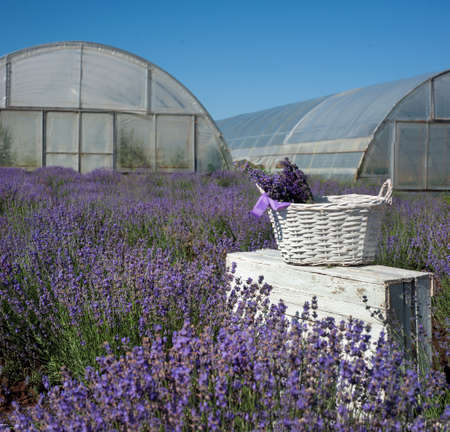 white basket, wooden boxes with blooming lavender closeup on a field background