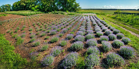 Rows of Young lavender bushes in a garden, top view, geometry
