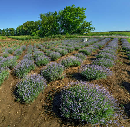 Rows of lavender bushes in a garden, top view Stockfoto
