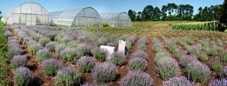 panoramic view of rows of blooming lavender, lavender field on top with greenhouses Stockfoto