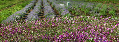 Panorama of lavender field and greenhouse with pink dried flowers in front
