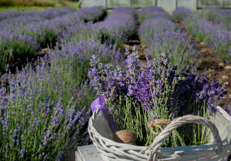 blooming lavender field in white basket wooden boxes