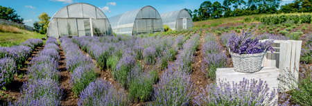 blooming lavender field with basket, Provence, greenhouse on background Stockfoto