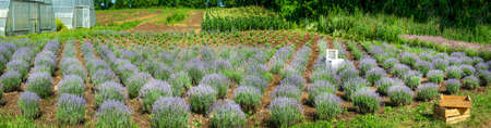 Rows of lavender bushes in a garden, above, panoramic view