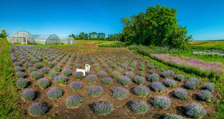 Rows of Young lavender bushes in a garden, top panoramic view
