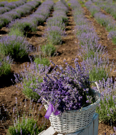 basket with blooming lavender close-up on a field background Stockfoto