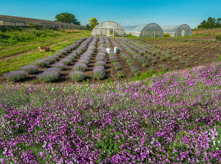 View of lavender field and greenhouse with pink dried flowers in front