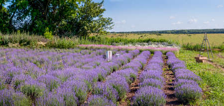 Rows of young lavender bushes in a garden, panoramic view