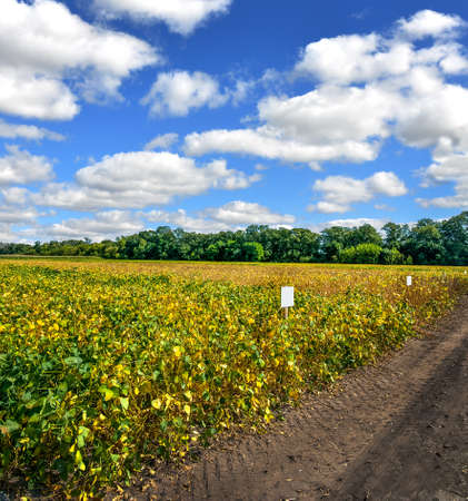 Agricultural soy plantation with yellow leaves and clouds at sky and dirty road