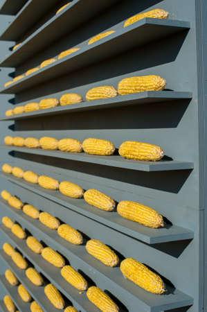 a rows of golden corn on a wooden gray shelves