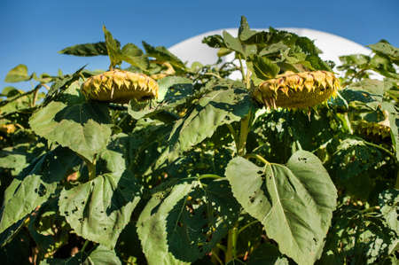 flowers with ripe sunflower seeds and blue sky Stock Photo