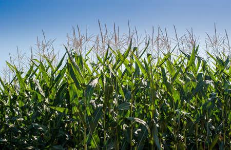 Green growing corn plants against blue sky