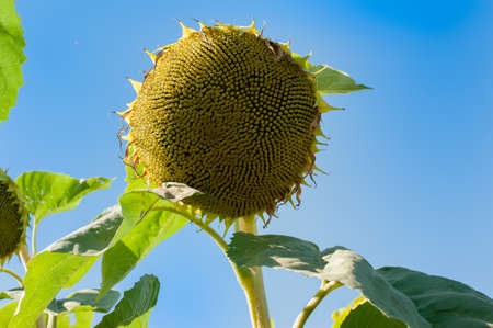 sunflower flower with ripe black seeds. Field of Mature crops. Stock Photo