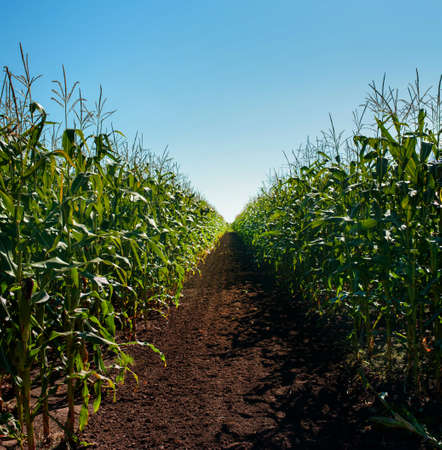 corn at field, row of test area in the field and blue sky Stock Photo