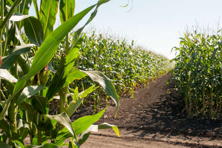 sectors of demonstration corn fields of agricultural crops