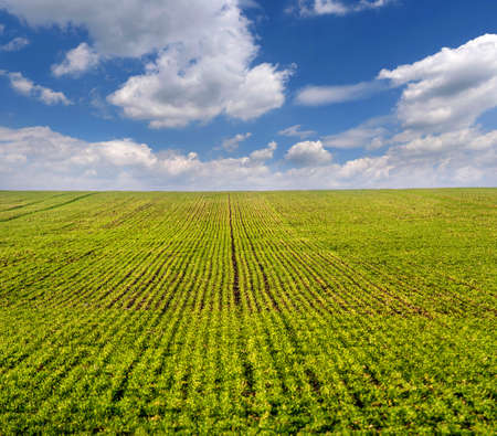 green field in early spring sprouts from winter wheat or rye, sky with clouds on the horizon