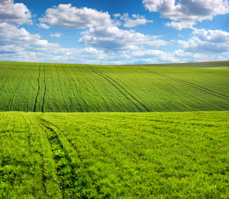 green sprouts on the hills of the agricultural field, spring landscape and sky with clouds