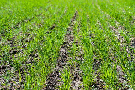 rows of bushes in the field of winter wheat, fertilizing during tillering