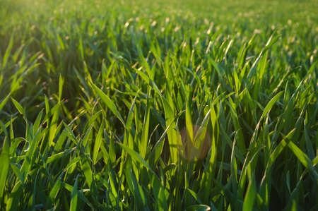 Agriculture background with green wheat plants close up in a field of contours with sunlight.