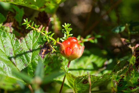 Wild northern berry - cloudberry. It grows among swamps, Arkhangelsk region, Russia Stock Photo