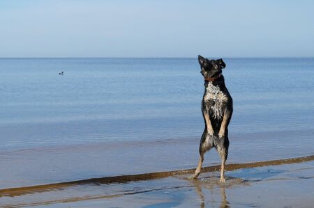 Dog on the beach, Arkhangelsk Region, Russia