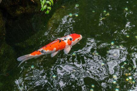 Une grande carpe rouge tachetée nage dans l'étang ombragé du parc Ueno à Tokyo par temps clair et ensoleillé Banque d'images