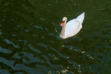 A white swan swims in the greenish water of a pond next to the Imperial Palace, Tokyo, Japan. Top view from the side. Summer 2019 2020