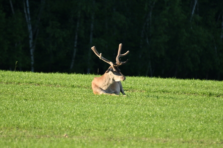 grass grazing deer on the meadow Stock Photo