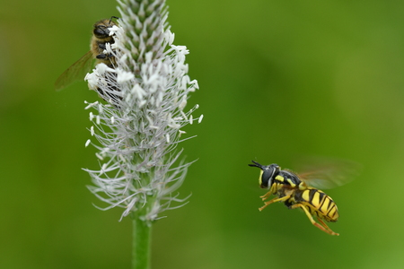wasp bee and bumble-bee polinates the flower