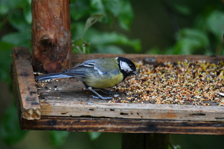 blue titmouse take a seeds in the fodder rack