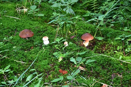 mushrooms and Mushrooming in the forest