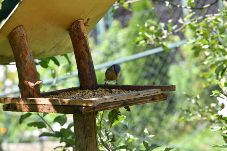 blue titmouse eats seeds in the fodder rack