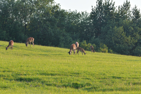 herd of deersskin and deers on the meadow grazing