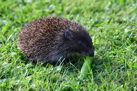 babies: wildlife hedgehog eats on the grass