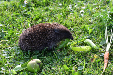 spiny: wildlife hedgehog eats on the grass