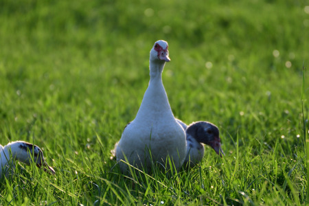 pato real: goose walking and grazing the grass