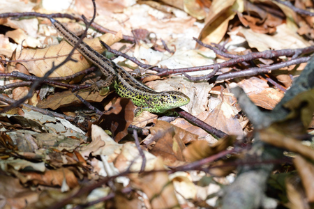 sand lizard in the forest Stock Photo
