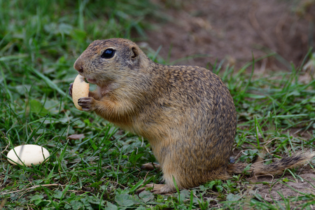lapin: ground squirrel grazing and lurking in the grass