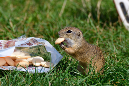 ground squirrel likes sweet biscuits from hand Stock Photo