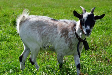 goats grazing the grass and fighting on the meadow